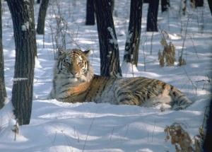 amur tiger sitting