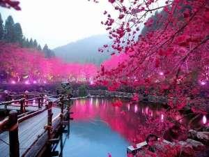 1 Cherry-Blossom-Lake-Sakura-Japan