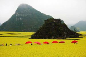 Fields of Canola in Luoping, Eastern Yunnan