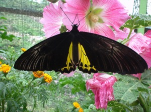 3 Butterfly-Malaysia-Cameron-Highland-Butterfly-Park-02