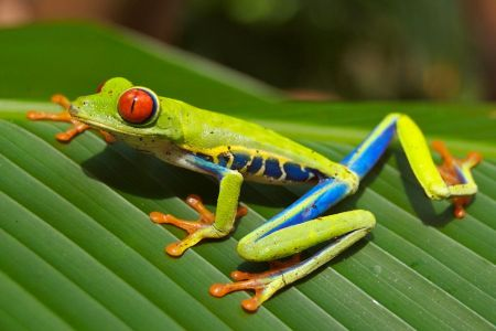 Costa-Rica-Red-Eyed-Tree-Frog_PD1