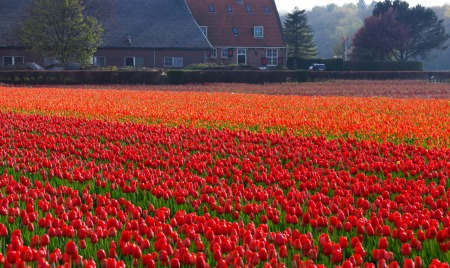 tulip-field-in-netherlands-871298040015lfq
